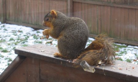 Super-sized Squirrel