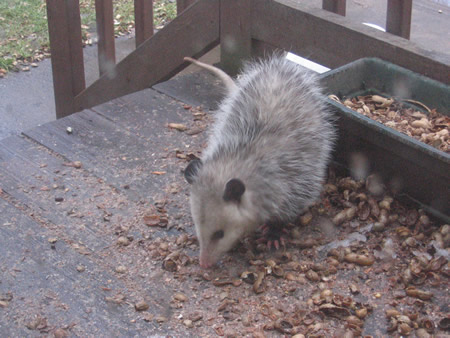 Our Pal Possum!
