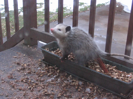 Uh-oh!  Possum can smell that we