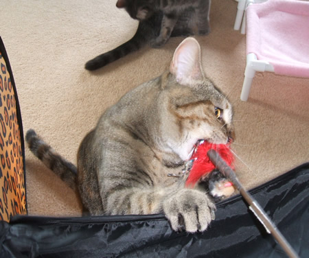 Meerkat Attacks the Red Feather Toy